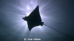 Eagle Ray Silhouette. Taken at Japanese Gardens, Koh Tao,... by Jace Green 